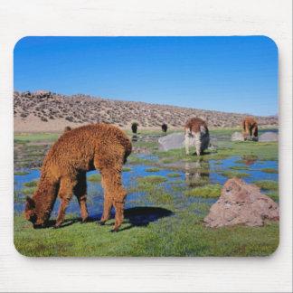 Alpaca (Vicugna Pacos) que pasta en su chileno Alfombrillas De Ratón