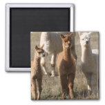 Alpacas adorables imán cuadrado
