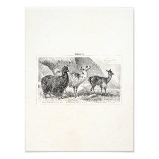 Alpacas de las llamas de la plantilla de la alpaca fotografía