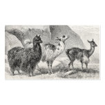 Alpacas de las llamas de la plantilla de la alpaca tarjeta de visita