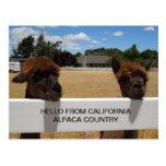 Alpacas in Templeton, California Postcards