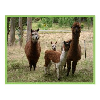 Alpacas lindas de Brown en el parque zoológico Postales