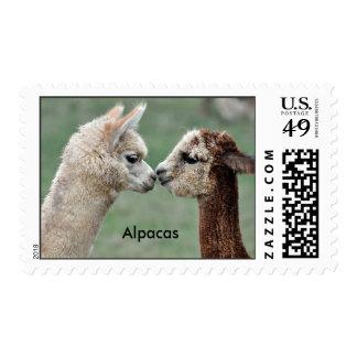 Alpacas lindas que besan el sello