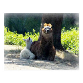 Alpacas - Mom & Baby Postcard