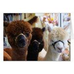 Alpacas Notecard Greeting Cards