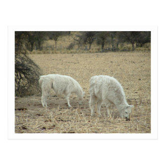 alpacas post cards