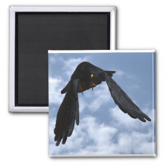 Alpendohle yellow billed chough 2 inch square magnet