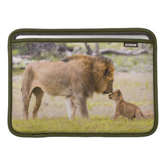 Alpha male lion inspects cub sleeve for MacBook air