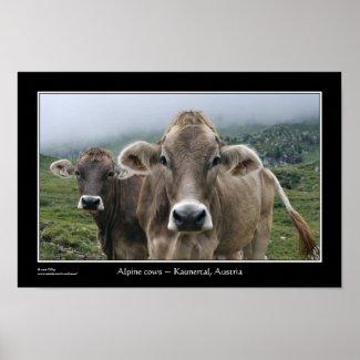 Alpine cows ~ Kaunertal, Austria Poster