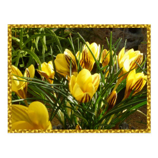 Alpine crocuses postcard