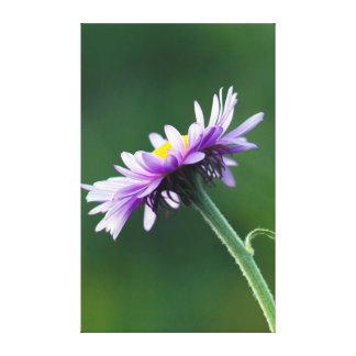 Alpine Daisy Canvas Print