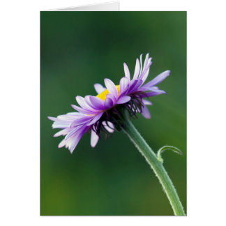 Alpine Daisy Card