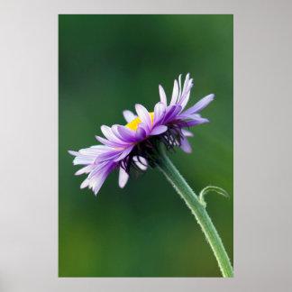 Alpine Daisy Poster