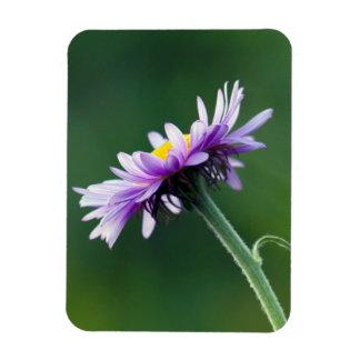 Alpine Daisy Rectangular Photo Magnet