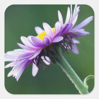 Alpine Daisy Square Sticker