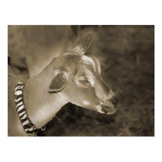 Alpine doe sepia shaved baby goat striped face postcard