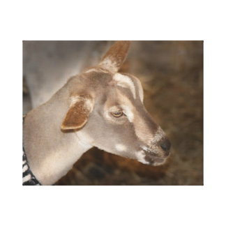 Alpine doe shaved baby goat striped face canvas print