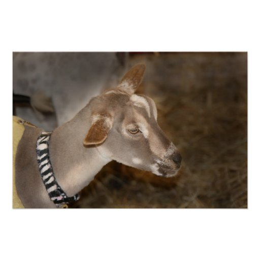 Alpine doe shaved baby goat striped face poster
