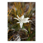 Alpine Edelweiss Card