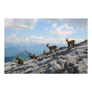 Alpine Ibex Wild Mountain Goats Art Photo