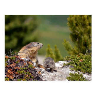 Alpine marmot and its young postcard