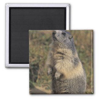 Alpine Marmot, Marmota marmota, adult standing 2 Inch Square Magnet