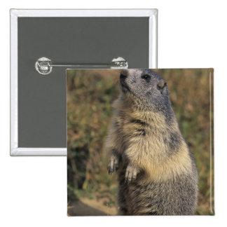 Alpine Marmot, Marmota marmota, adult standing Button