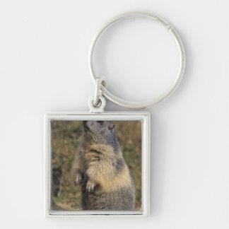 Alpine Marmot, Marmota marmota, adult standing Keychain