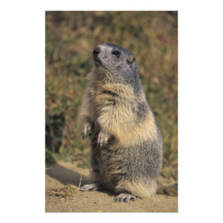 Alpine Marmot, Marmota marmota, adult standing Photo Print