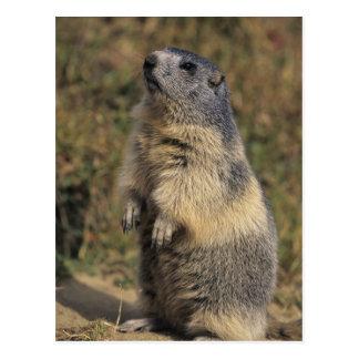 Alpine Marmot, Marmota marmota, adult standing Postcard