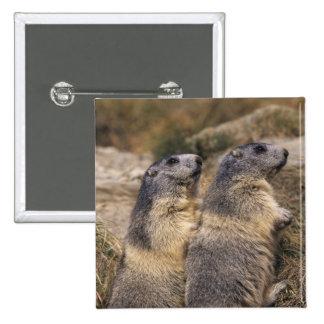 Alpine Marmot, Marmota marmota, adults, Saas 2 Inch Square Button