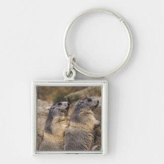 Alpine Marmot, Marmota marmota, adults, Saas Keychain
