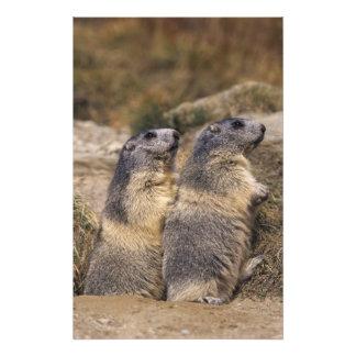 Alpine Marmot, Marmota marmota, adults, Saas Art Photo