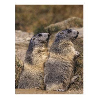 Alpine Marmot, Marmota marmota, adults, Saas Postcard