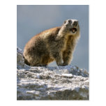 Alpine marmot on rock postcard