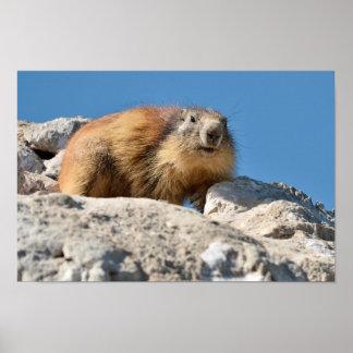 Alpine marmot on rock poster