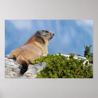 Alpine marmot on the rock poster