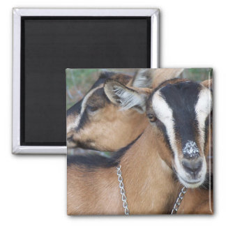 Alpine Oberhasli goat cross young does kids Magnets
