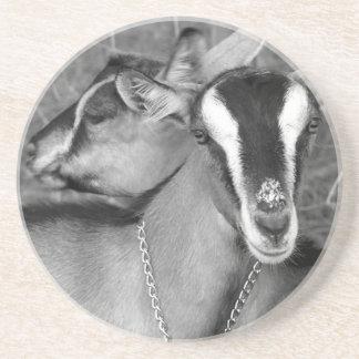 Alpine/Oberhasli goat does sisters photograph bw Beverage Coaster