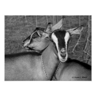 Alpine/Oberhasli goat does sisters photograph bw Poster
