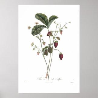 Alpine Strawberry Posters