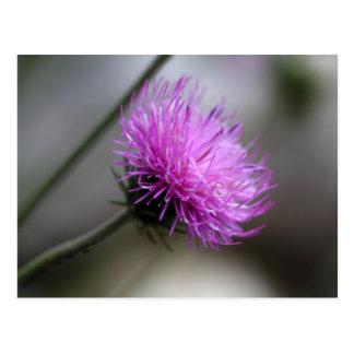 alpine thistle (Carduus defloratus) Postcard