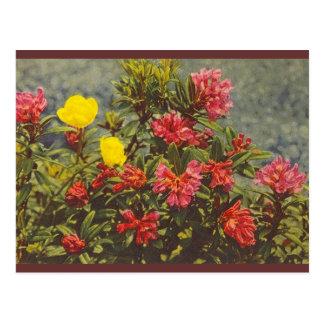 alpinerose tarjetas postales