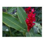 Alpinia Purpurata, Bucerias Postcard