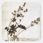 Alquimila, de un herbario pegatina cuadrada