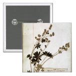 Alquimila, de un herbario pin cuadrada 5 cm