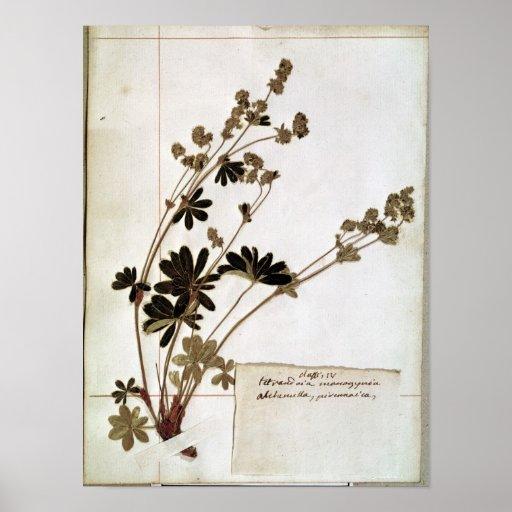 Alquimila, de un herbario póster