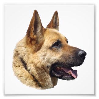 Alsatian German shepherd portrait Photo Print