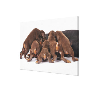 Also Doberman Pincher. Medium-sized domestic dog Canvas Print