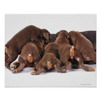 Also Doberman Pincher. Medium-sized domestic dog Poster
